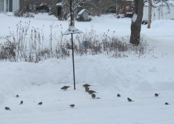 Mourning doves and dark-eyed juncos often travel in flocks to improve foraging efficiency