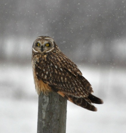 Short-eared owl perched on fence post (photo by Karen Lee Lewis)
