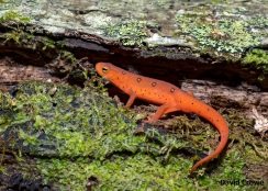 Red efts burrow below the frost line and go dormant (photo by David Crowe)