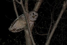 Barred owls are increasingly vocal now (Photo by Tom Poczciwinski).