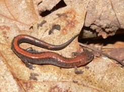 Redbacked salamanders burrow below the frost line and go dormant (photo by Nick Sly)