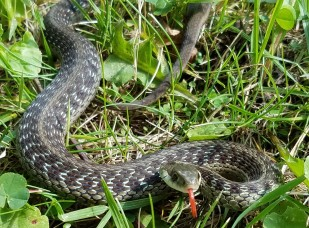 "Eastern garter snakes ""hibernate"" in animal burrows, ant hills, rock piles, etc."