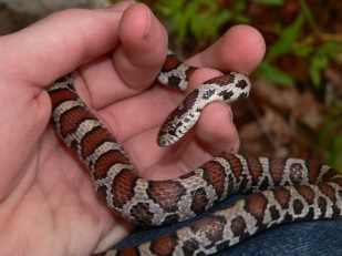 "Eastern milk snakes ""hibernate"" in rock piles, old house foundations, etc. (photo by Nick Sly)"