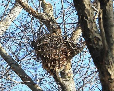 Great horned owl on-nest (Photo by Henry Ciesla)