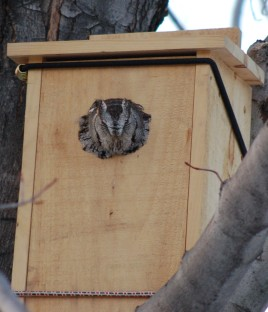 Eastern screech owl in nest box (Photo by Celeste Morien)