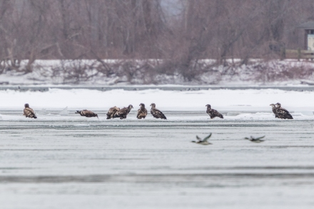 Nine bald eagles on ice off Strawberry Island (Photo by Paul Bigelow)
