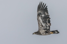 Juvenile bald eagle near Strawberry Island (Photo by Paul Bigelow)