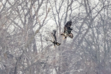 Bald eagles in aerial tussle near Strawberry Island (Photo by Paul Bigelow)