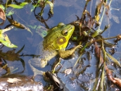 Green frogs go dormant on bottoms of ponds, etc.