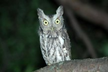 Eastern screech owls are increasingly vocal now (Photo by Tom Poczciwinski).