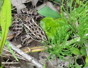 Northern leopard frogs go dormant on bottoms of ponds, etc.
