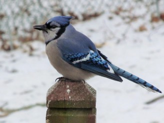 Blue jays are increasingly vocal now