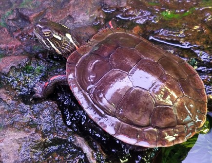 Midland painted turtles go dormant on bottoms of ponds, etc.
