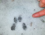 Eastern chipmunk tracks in snow - watch for a few vernturing from winter dens to feed and breed