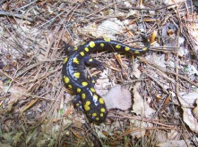 Spotted salamanders burrow below the frost line and go dormant (photo by Kristen Rosenburg)