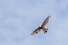 Migrant sharp-shinned hawk (photo by Paul Bigelow)