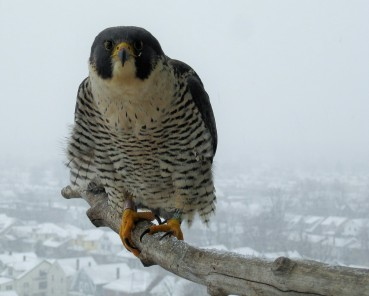 Peregrine falcon at DEC nest box (photo by Mike Koch, NYSDEC)