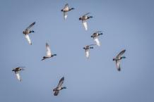 Flock of mallards (Photo by Paul Bigelow)