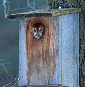 Red morph eastern screech owl at nest box (photo by Celeste Morien)
