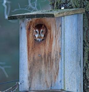 Red morph eastern screech owl at nest box (photo by Celeste Morien)
