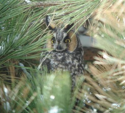 Migrant long-eared owl (photo by Jim Pawlicki)