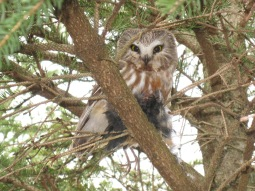 Migrant northern saw-whet owl with daytime snack (photo by Keith Lang)