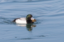 Scaup eating crayfish (Photo by Paul Bigelow)