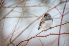 Wintering junco (photo by Paul Bigelow)