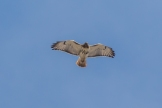 Red-tailed hawk (Photo by Paul Bigelow)