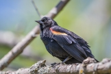 Male red-winged blackbird (Photo by Paul Bigelow)