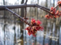 Red/silver maple flowers