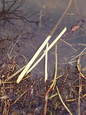 Branches recently chewed by beaver (photo by Kristen Rosenburg)