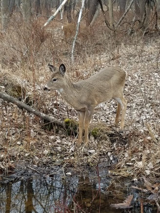 White-tailed deer (photo by Kristen Rosenburg)