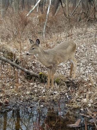 White-tailed deer (photo by Kristen Rosenburg)