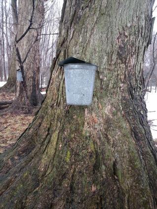 Maple sap collection