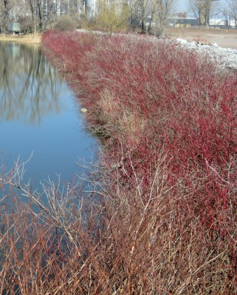 Red stems of red osier dogwood