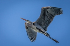 Great blue heron (photo by Paul Bigelow)