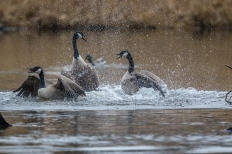 Canada geese (photo by Paul Bigelow)