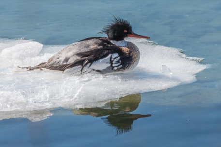 Red-breasted mergansers are passing through our Region in large numbers at this time (photo by Paul Bigelow)
