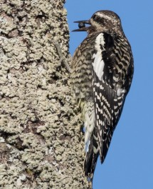Good numbers of yellow-bellied sapsuckers are migrating through our Region now (photo by Paul Bigelow)