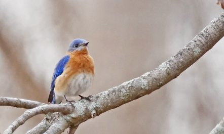 Eastern bluebirds are returning to nesting areas (Photo by Dave Denk, Instagram handle = dddave226)
