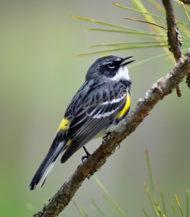 Migrant yellow-rumped warblers are starting to pass through our Region (photo by Tim Baird)