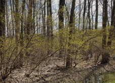 Spicebush througout understory of forested wetland