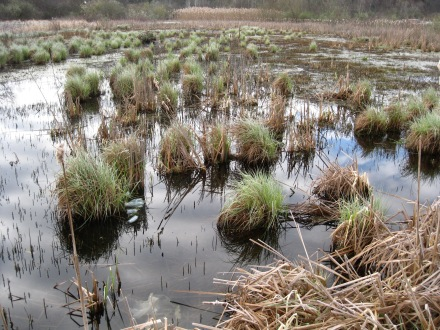 Sedges, bulrushes, and similar plants are sprouting now - especially in wetlands