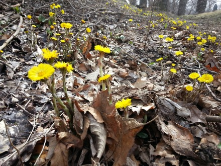 Coltsfoot is now blooming