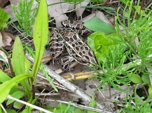 Northern leopard frogs have joined the frog chorus
