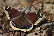 Mourning cloak butterfly (photo by Brittany Rowan)