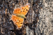 Eastern comma butterfly (photo by Paul Bigelow)