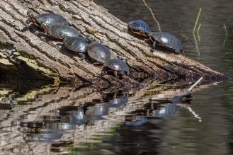 Painted turtles basking (photo by Paul Bigelow)