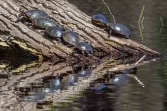Painted turtles basking (photo by Paul Bigelow)
